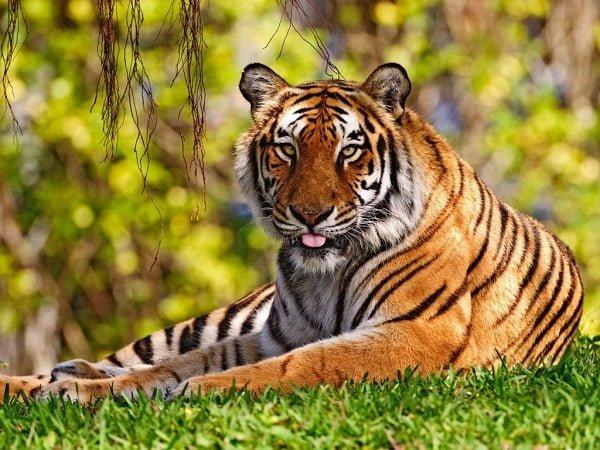 20 bilder som beviser at tiger er verdens flotteste dyr!
