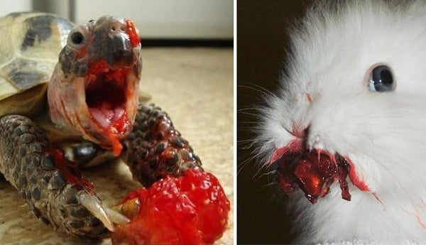 Søte dyr som prøver å spise bær ser ut som noe tatt ut av en skrekk film
