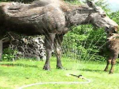 ÅRETS SØTESTE: Se de utrolig søte elg-kalvene leke i vannsprederen!