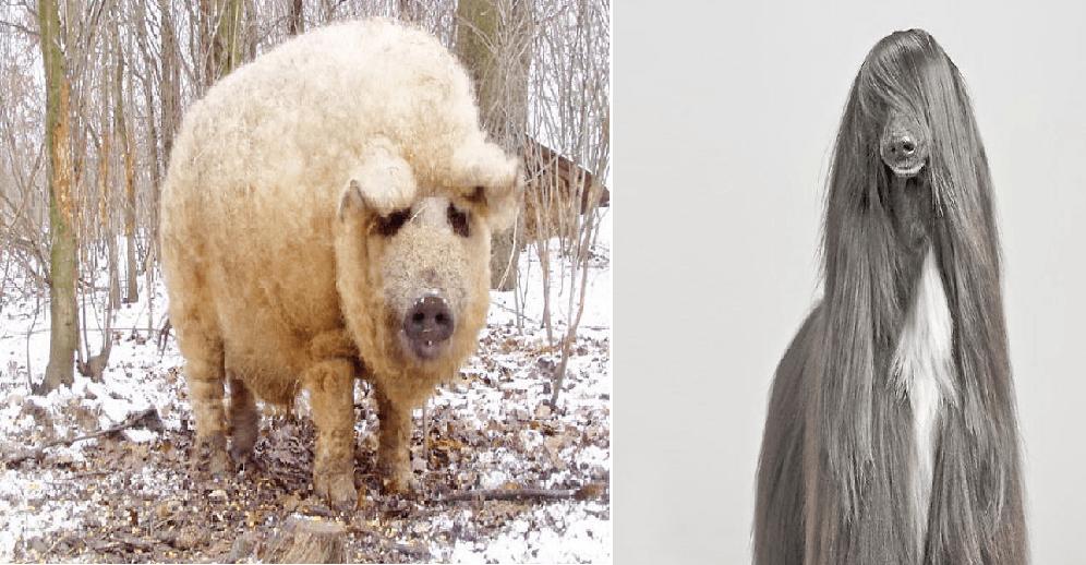 20 veldig hårete dyr som skulle ønske det fantes en dyrefrisør!