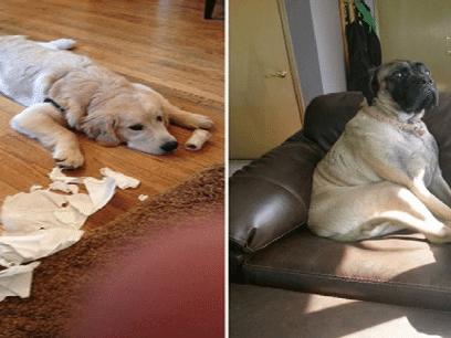 24 veldig SKYLDIGE hunder som virkelig skammer seg!