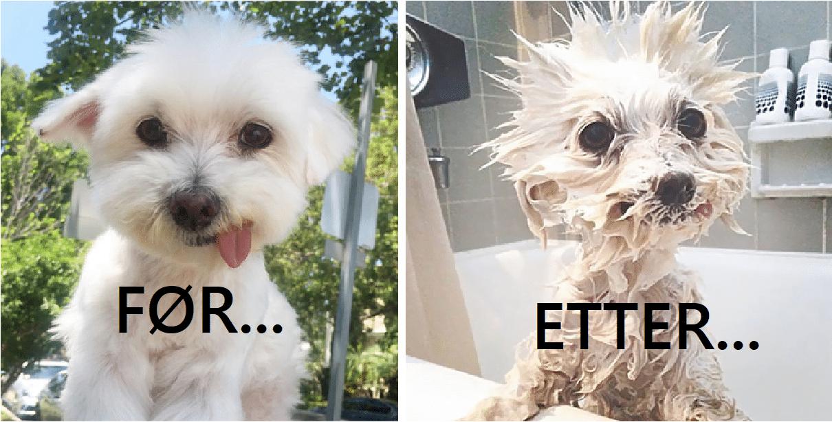 16 morsomme bilder av litt sinna hunder før og etter et bad!