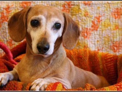 Hundeeier mishandlet hund. Måtte sove i kurv på gulvet med bånd!