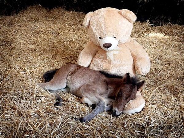 Super søte miniatyr hester alle barn vil ha som kjæledyr.