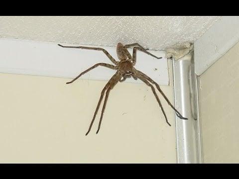 Verdens største og lynrask edderkopp filmet i virkelighet!