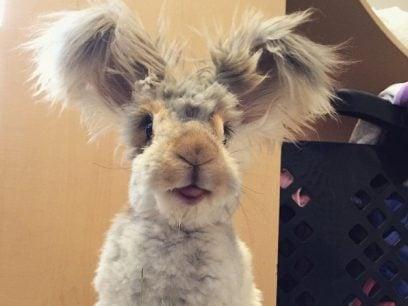 Møt Wally, kaninen med det største ørene du noen gang har sett.