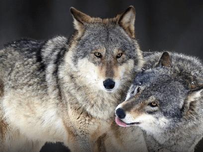 FORSKNING: 9 av 10 nordmenn vil heller ha ulv enn bønder i Norge!