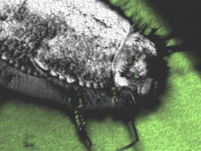 HELSEALARM: Ny type skjeggkre oppdaget på Notodden