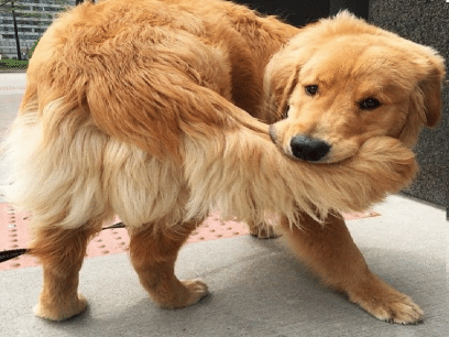 SISTE NYTT: Hund føler livet er komplett etter at den endelig fikk fanget sin egen hale etter 4 års forsøk