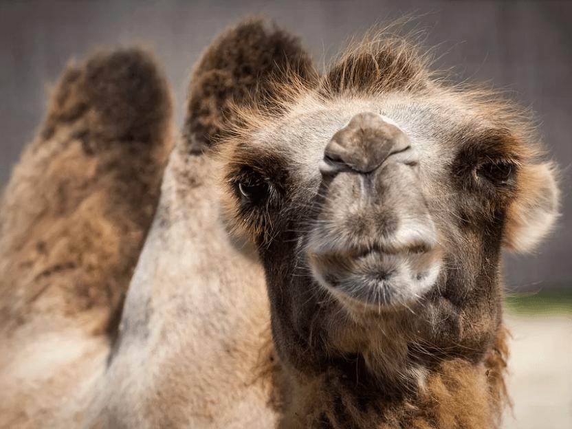 SISTE NYTT: Stor frykt blant verdens kameler for å bli svelget av Siv Jensen