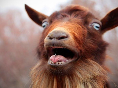 Når geiter skriker som mennesker. Dette er filmen ALLE bør få med seg...