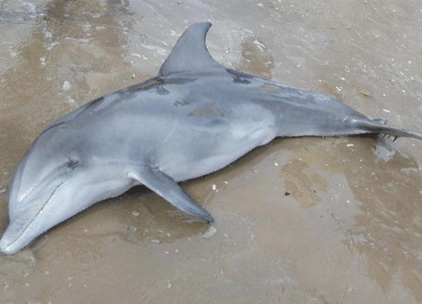 FORSKNING: Delfiner på ingen måte like intelligente når de er på land. Klarer ingenting